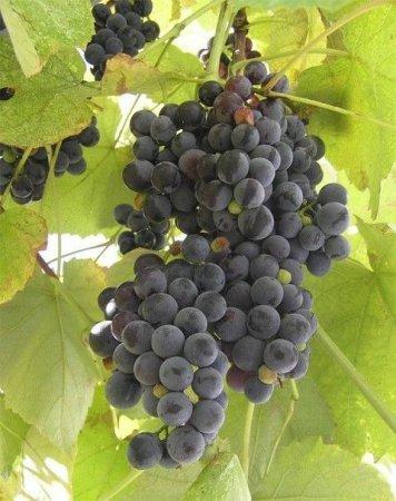 1414045723 yak zrobiti vino z vinogradu v domashnh umovah Як зробити вино з винограду в домашніх умовах відео