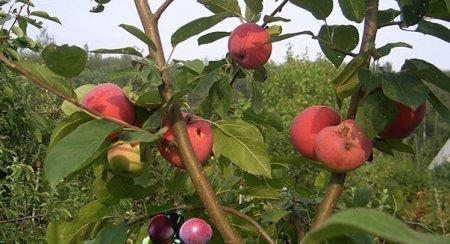 Як правильно прищепити яблуню навесні?