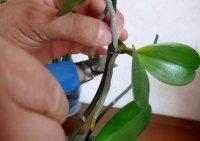 1422963229 rozmnozhennya orhdeyi vdomashnh umovah Розмноження орхідеї в домашніх умовах