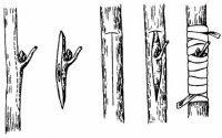 1424080545 yak scheplyuvati dereva Як щеплювати дерева? Терміни щеплення