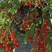 1424256356 yak viroschuvati tomati cherr Як вирощувати томати черрі?