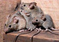 1424777232 yak pozbutisya mishey schurv Як позбутися мишей і щурів народними засобами?