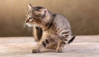 1424882328 narodn zasobi vd blh u kotv sobak Народні засоби від бліх у котів і собак