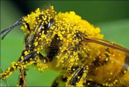 Корисні властивості бджолиної перги, застосування та протипоказання