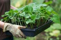 1428151676 koli saditi kapustu na rozsadu Коли садити капусту на розсаду 2015