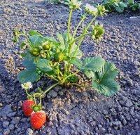 1429695643 yak pdzhiviti polunicyu Підживлення полуниці: Весною, Як підживити полуницю?