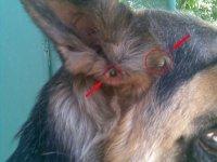 1430163536 sobaku vkusiv klsch Що робити якщо собаку вкусив кліщ?