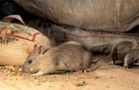 1430294097 yak pozbutisya vd schurv mishey v budinku Як позбутися від щурів і мишей в будинку?