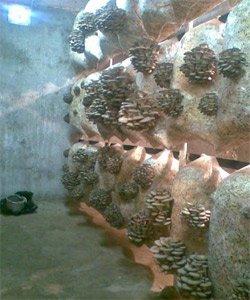Гриби гливи   як вирощувати гриби гливи в домашніх умовах