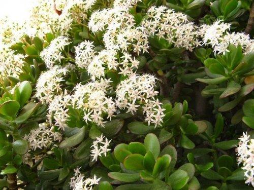 Як доглядати за грошовим деревом (толстянкой): розмноження, цвітіння, пересадка