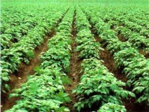 Як правильно виростити картоплю в домашніх умовах