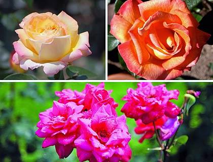 Чайно гібридні троянди: посадка й догляд, сорти й фото королеви квітів