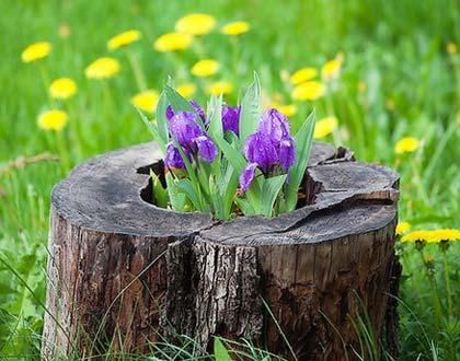 Цибулинний ірис (голландський): посадка, догляд та поради від садівників