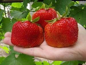 Дізнайтеся, які вітаміни містяться в полуниці. Вітамінна полуниця – ягода здоров\я і чудового настрою