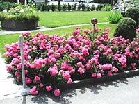 Грунтопокривні троянди в дизайні саду: кращі сорти, поради по догляду та приклади використання в саду