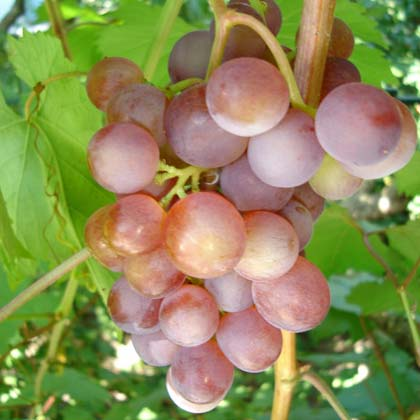 Кращі сорти винограду для Підмосков\я, Сибіру і Уралу: огляд кращих сортів з фото