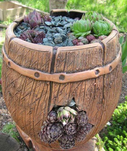 Молодило (кам\яна троянда) в дизайні саду: посадка, догляд та сорти