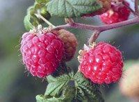 Обрізка малини восени і навесні: відео, поради та майстер класи