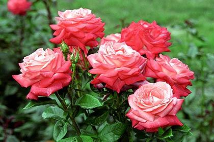 Обрізка троянд на зиму (восени): як правильно її виконати