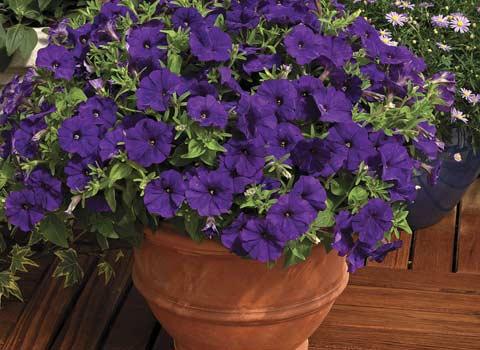 Петунія   посадка, догляд, фото і поради з вирощування цих квітів