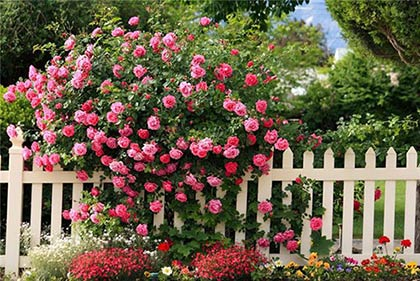 Плетисті троянди: посадка і догляд за кучерявим сортами прекрасного квітки