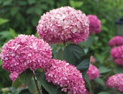 Посадка і догляд за садовими гортензією: зимостійкі сорти + фото