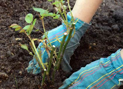 Правильний догляд за трояндами восени (у вересні та жовтні): основні правила та поради