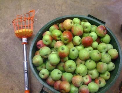 Пристосування для зняття яблук з дерева: 2 варіанти плодосъемников своїми руками