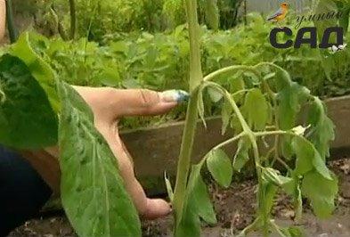 Розбираємося коли і як садити розсаду помідорів: поради та майстер класи