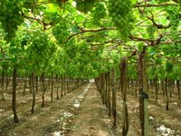 Шпалера для винограду своїми руками: покрокове керівництво та поради