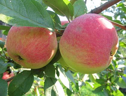 Сорти яблунь для Сибіру й Уралу: кращі сорти для північних регіонів
