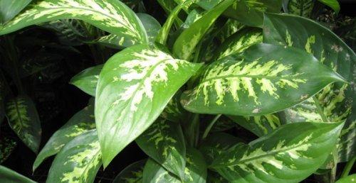 Рослина диффенбахія: догляд в домашніх умовах і особливості розведення