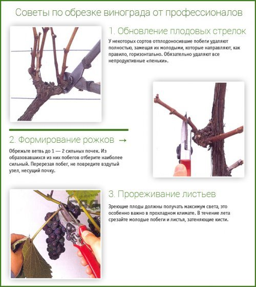 Як правильно обрізати виноград восени: поради та майстер клас