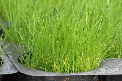 Трава для газону: огляд ідеальних сортів + фото з назвами