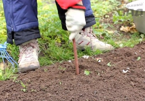 Як правильно садити часник восени і навесні: поради від садівників
