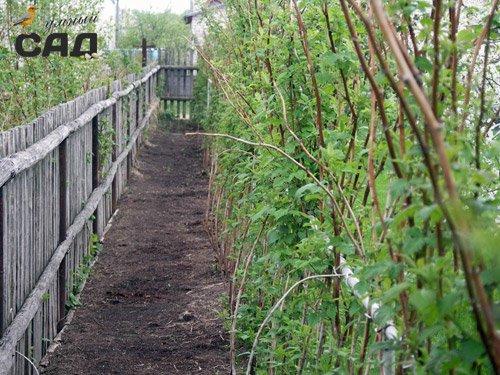 Як правильно садити малину восени і навесні, щоб отримати хороший урожай