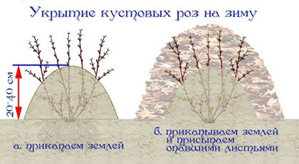 Як правильно вкрити троянди на зиму (восени): поради квітникарів + відеоматеріали
