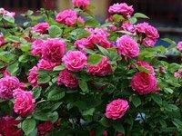 Як садити троянди навесні і восени: все про правильну посадку квітів
