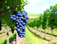 Як садити виноград навесні і восени: покрокове керівництво та майстер класи