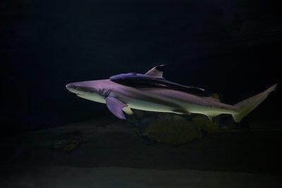 Місяць акул