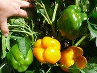 Вирощування перцю