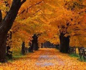chomu voseni listya na derevah zhovtye opadaye 300x247 Чому восени листя на деревах жовтіє і опадає?