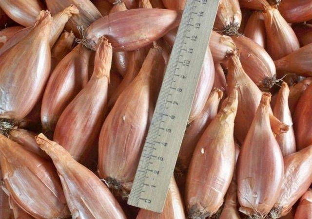 Выращивание лук -шалот сорт Сорокозубка выгонка зеленого