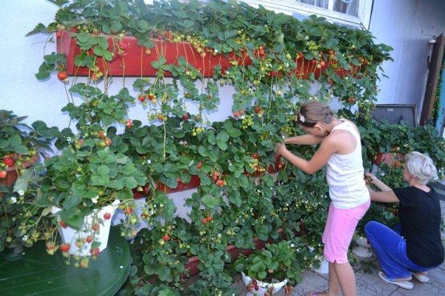 Что нужно выращивание клубники