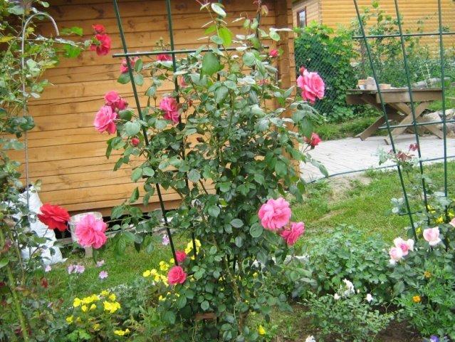 Опоры для плетистых роз: 3 варианта устройства конструкции