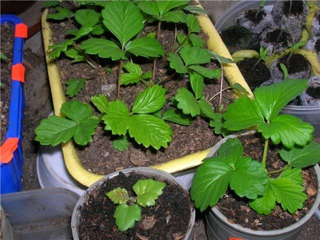 Выращивание и уход клубники ремонтантной 5