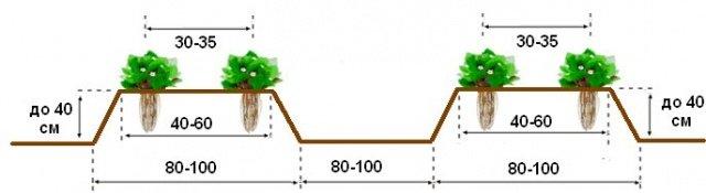 Как сажать клубнику в теплице расстояние 63