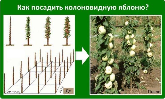 До какого можно сажать фруктовые деревья 620