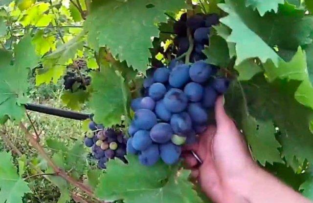 скульптуры летнего виноград руслан описание сорта фото запросу