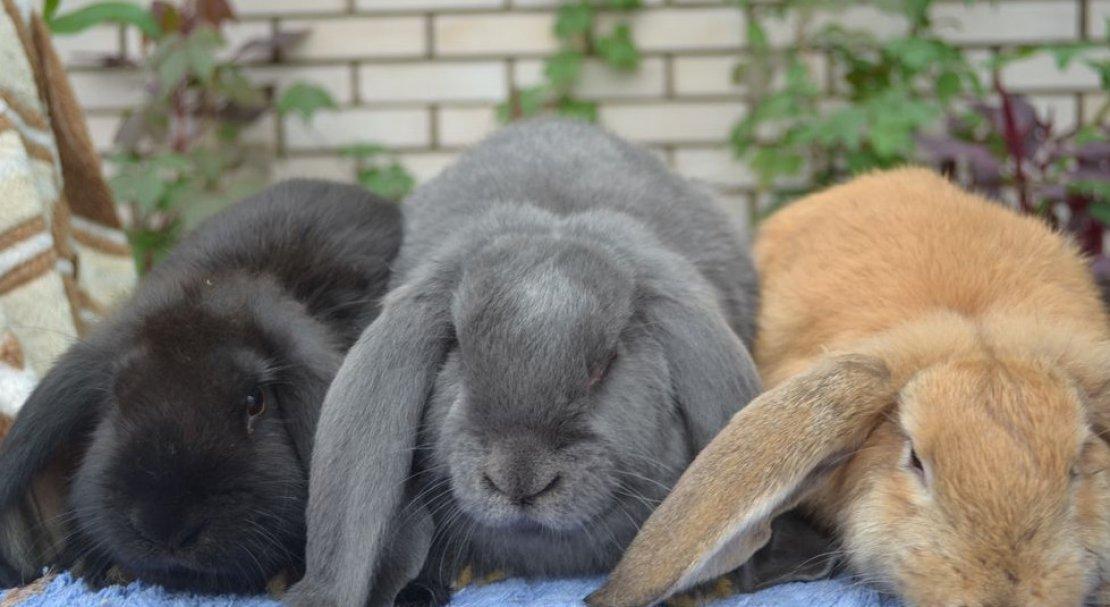 Кролик баранчик фото занавески делают